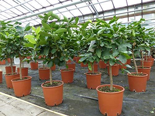 Grünwaren: Limette Limettenbaum \'Aurantifolia\' Citrus Lime 70-90 cm Zitruspflanze