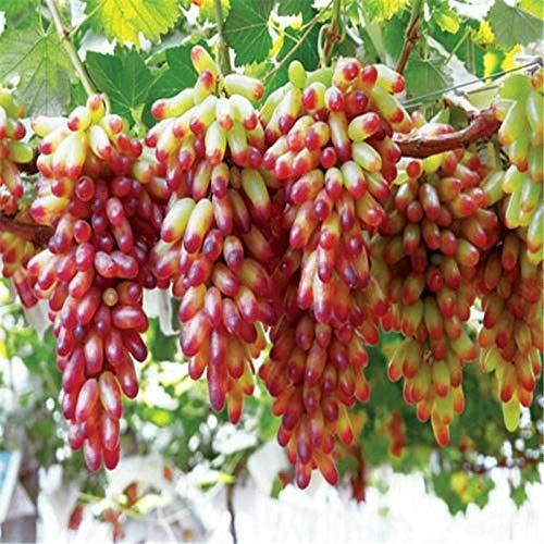 Klettertrauben, Traubensetzlingssamen, Trauben, Saphirobstbaum-Topfsamen, 300 Samen-ausgezeichnet_Rot Erde 200 Kapseln