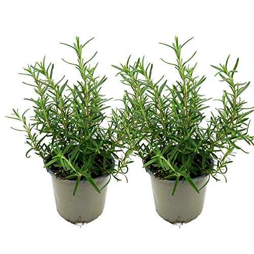 Rosmarin | Rosmarin Pflanzen | echter Rosmarin | Aromatisch | Winterhart | Rosmarinus officinalis | 12 cm Topf | 2 Stück