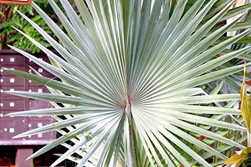 "Keimfutter: 5 Bismarck Palm Seeds â € ""Bismarckia nobilis"