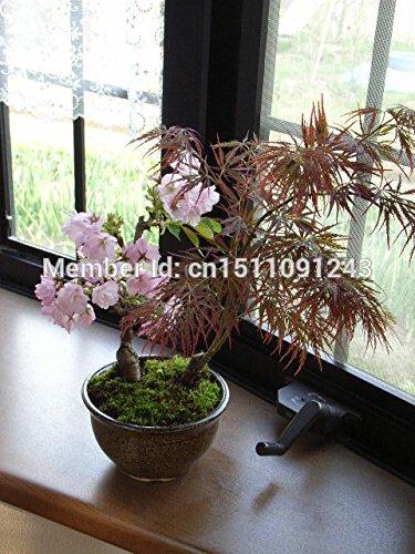 mini-bonsaï graines de fleurs de cerisier japonais un paquet de 10 plantes, arbre bonsaï