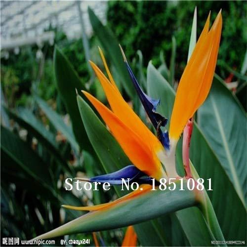 AGROBITS 100pcs / pots pack. Flower jardinières Toutes sortes de couleurs Strelitzia graines de semences reginae paradis des oiseaux hybride Bonsai Graines de fleurs: vert