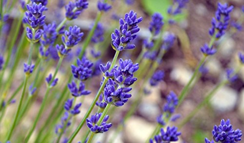 Phenomenal Lavender Plants in 4 Inch Pot (1)