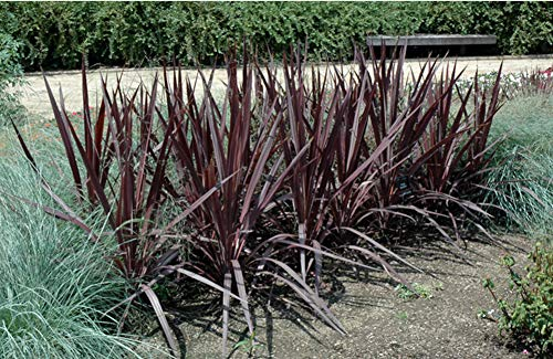 Cordyline Australis Purple Sensation, Cordyline Plant in 3L Pot