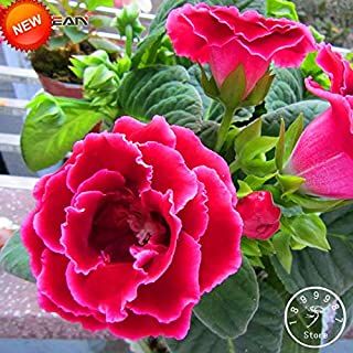 Best gloxinia for sale Reviews