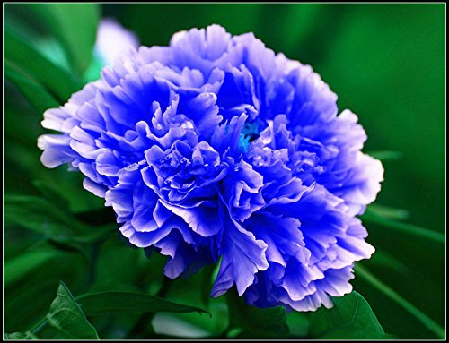 10pcs / sac de graines de pivoine, jaune, graines de fleurs de pivoine rose chinoise belles graines de bonsaï plantes en pot pour le jardin de la maison 3
