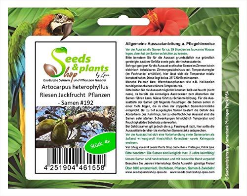 Stk - 4x Artocarpus heterophyllus Riesen Jackfrucht Pflanzen - Samen #192 - Seeds Plants Shop Samenbank Pfullingen Patrik Ipsa