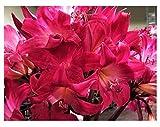 Rose Hot Pink Amaryllis Belladonna - 3 Medium Bulbs - Rare Color