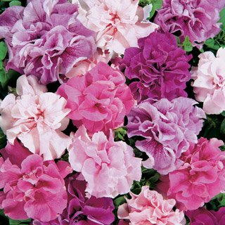 Double Cascade Mix Petunia Seeds Seed Pack