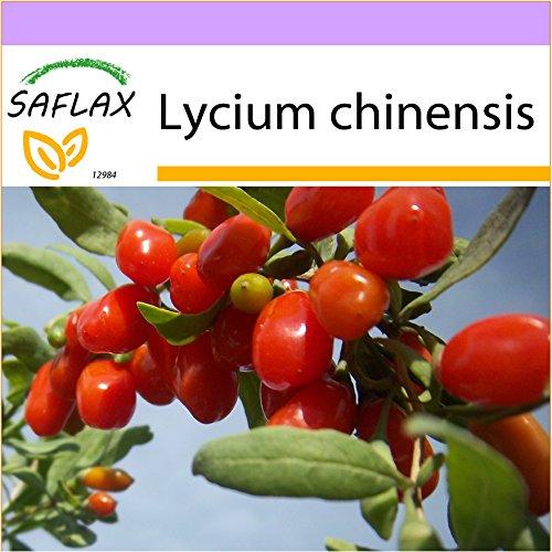 SAFLAX - Goji - Beere - 200 Samen - Lycium chinensis