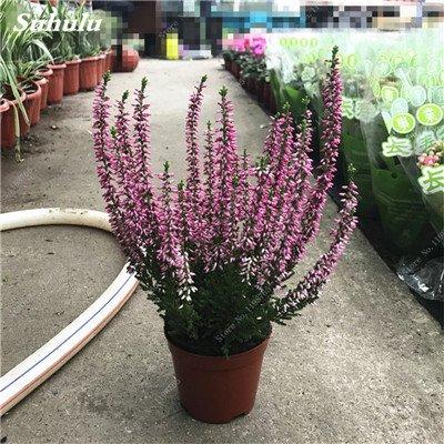 100pcs Belles aromatiques gypsophile Graines vrai étoilées fleurs en pot Gypsophila paniculata All Over The Sky Flower 1 étoile Bonsai