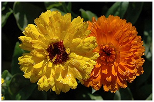 Lot 50 graines de Souci double de Jardins nain Fiesta gitana - plantes annuelles