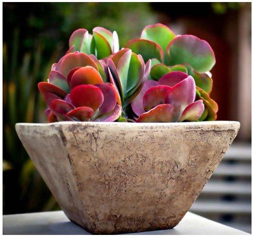 Flap Jack Pallet Plant Kalanchoe Luciae Live Succulent 4 Plant