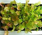Red Salad Bowl Lettuce Seeds- Heirloom-...