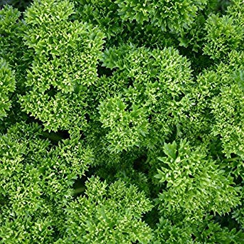 SANHOC Samen-Paket: Petersilie Cur - Petroselinum crispum - SEED