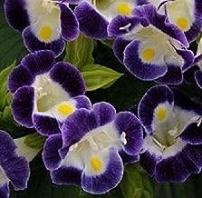 Torenia Seeds Kauai Blue and White Pelleted Flowers Seeds 50 Pcs an