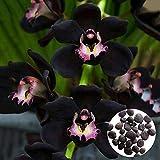 Benoon Semillas De Orquídeas, 300Pcs / Bolsa Semillas De Orquídeas Semillas De Flores De Jardín Bonsai Negras Atractivas No Transgénicas Para El Hogar Semillas de Cymbidium