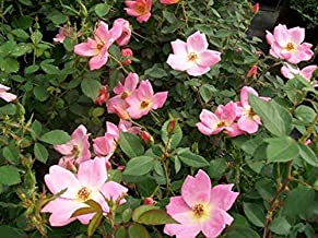 1 Plant, Rainbow Knock Out Rose 1 Gal. Live Bush Plants Bushes Plant Roses Home Outdoor