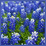 Texas Bluebonnet Seeds (Lupinus texensis) - Over 1,000 Premium Seeds - by 'createdbynature'