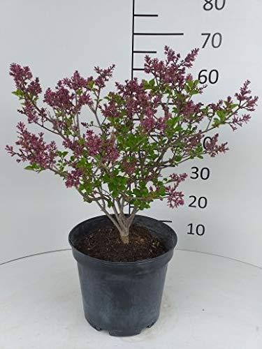 Späth Meyer's Flieder 'Palibin' LH 30-40 cm im 7,5 Liter Topf Zierstrauch lila blühend Gartenpflanze winterhart