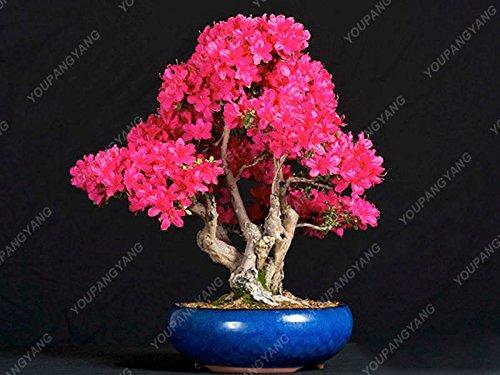 20 graines/paquet de graines de sakura japonais bonsaï ornement graines de cerisier fleur de fleurs de cerisier pour la maison et jardin vert