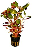 1 Topf Alternanthera reineckii, Papageienblatt, Aquarium-Pflanzen