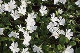 10 x Vinca minor Alba (Weiss) Kleines Immergrün (Bodendecker)