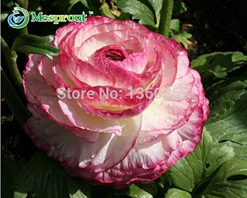 100 PCS Ranunculus Seeds Asiaticus fleur pour Maison & Jardin Plantes Bricolage Persian Buttercup Seed Flower Bulbs