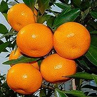 20個柑橘類種子新鮮なエキゾチック高収量オレンジの木の種子冬フルーツ屋内庭園のためのバルコニー植栽ガーデニング植栽低木飾る