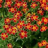 Signet Marigold Paprika 100 seeds - Tagetes tenuifolia - Annual Paprika