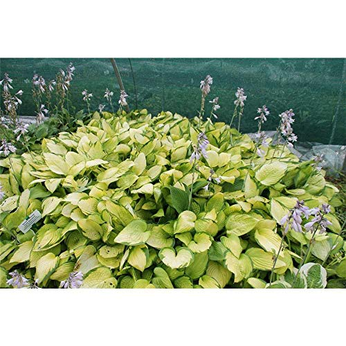 Hosta x fortunei 'Gold Standard' - Gelbgrüne Garten-Funkie 'Gold Standard' - 11cm Topf