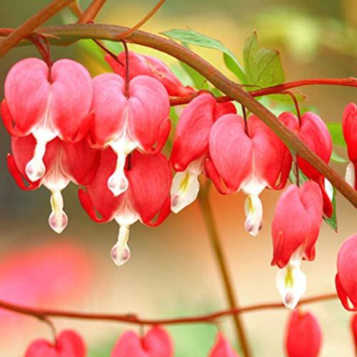 20 Pcs Red Bleeding Heart Seeds Plant Fresh Garden Seeds,Dicentra Spectabilis...