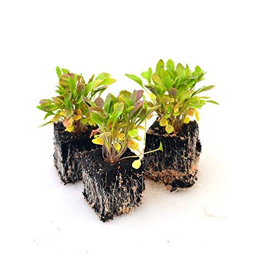 Gemüsepflanzen - Rucola/Salatrauke - Eruca sativa - Brassicaceae - 12 Pflanzen