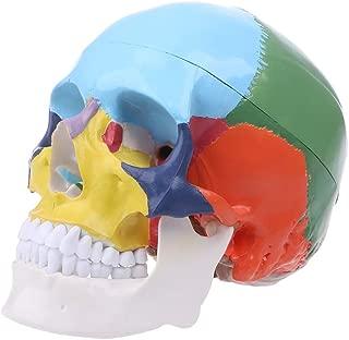 WHER Life Size Colorful Human Skull Model Anatomical Anatomy Medical Teaching Skeleton Head Studying Teaching Supplies