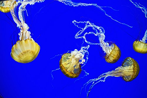 Robert L. Potts/Design Pics – Sea Nettle Swims at The Oregon Coast Aquarium; Newport Oregon United States of America Photo Print (48,26 x 30,48 cm)