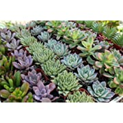 Shop Succulents | Premium Pastel Collection of Live Succulent Plants, Hand Selected Variety Pack of Mini Succulents | Collection of 20