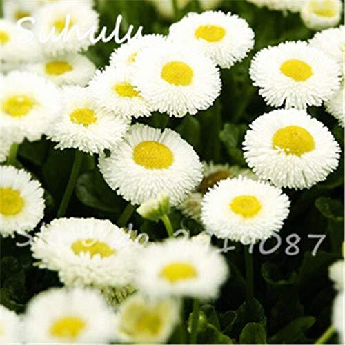 16: Schöne Gänseblümchen Blumensamen 30 Partikel Eiscreme Parfüm Chrysantheme Tha Souk Tanz Bonsai Blumensamen