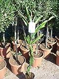 Fruta del dragón, Hylocereus, monacanthus, Planta aprox.120-140cm, Pitaya, Pitahaya, cactus