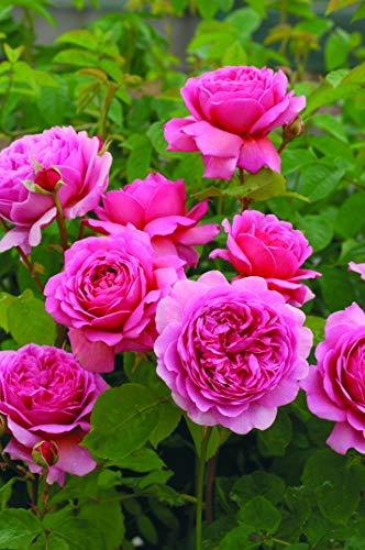 'Princess Alexandra of Kent' (R), Englische Rose in A-Qualität, Wurzelware