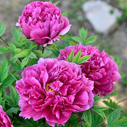 Las semillas de peonía, 1 Bolsa Peony rústico de semillas fáciles de cultivar estilo tradicional llamativo Ranunculaceae Semilla para jardinería Ideal regalo al aire libre