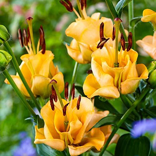 5x Lilium asiaticum Apricot Fudge | Lilienzwiebeln mit gefüllten Blüten | Gelbe Blüten | Ø 12-14cm