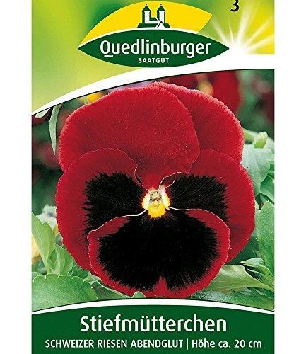 Riesen-Stiefmütterchen rot 'Schweizer Riesen', 1 Tüte Samen