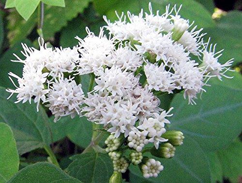 Ageratina altissima  巧克力Joe Pye Weed   200_Seeds