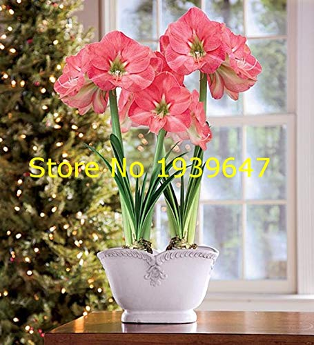 100pcs Amaryllis Bonsai Plants Hippeastrum Amaryllis Bonsai Chinese Cheap Flower Potted Plants Garden Flower Balcony : 9