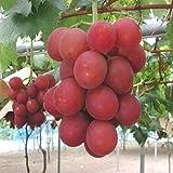 XQxiqi689sy 50 Piezas De Semillas De UVA Planta De Balcón De Techo De Patio De Jardín De Fruta...
