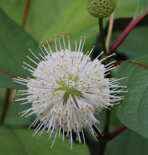 Kopfblume Knopfbusch 60-80cm -...