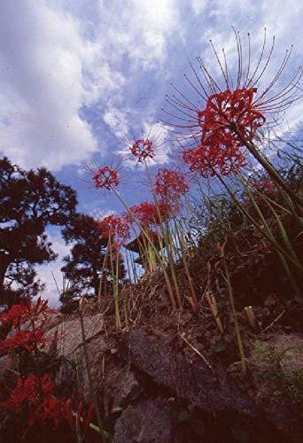 NIUZIMU DIY Ölfarbe von Number Kit 16 * 20 Zoll Weihnachtsdekoration Dekorationen GeschenkeBlauer Himmel und rote Spinnenlilie