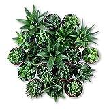 Plantas Suculentas Naturales Tipo Haworthia y Aloe Pack de Plantas Crasas para Exterior e Interior (5)