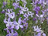 Evening Scented Stock-3000 Seeds (Matthiola longipeta) Perfume Plant,Cold Hardy