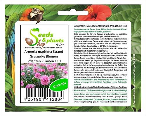 Stk - 80x Armeria maritima Strand Grasnelke Blumen Pflanzen - Samen K10 - Seeds Plants Shop Samenbank Pfullingen Patrik Ipsa